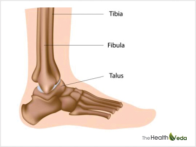 What-constitutes-ankle-joint