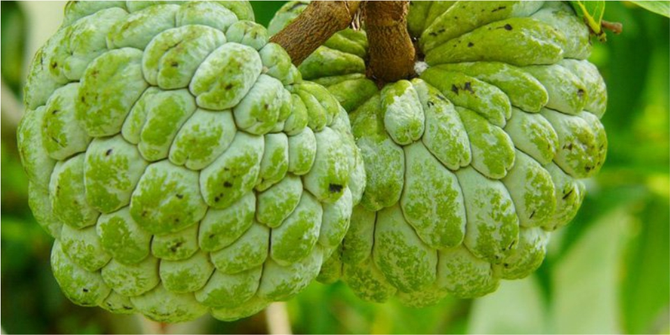 Why-Should-You-take-Custard-Apple-Know-the-Benefits-here