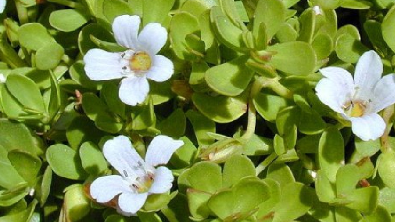 Brahmi-is-Good-for-Body-and-Mind