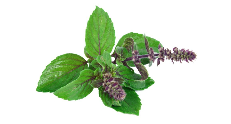 Drink-Holy-Basil-(Tulsi)-Tea-to-Get-Rid-of-Gastritis-Pain