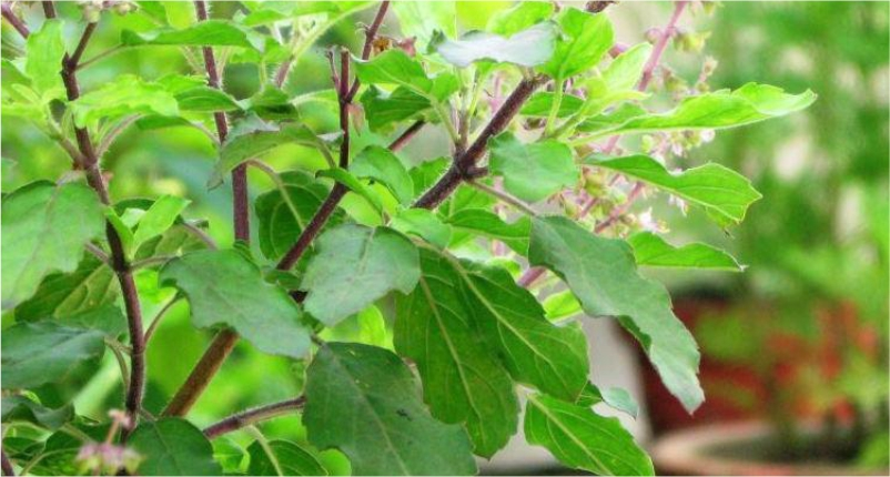 Drink-Holy-Basil-(Tulsi)-tea-for-Low-Blood-Pressure